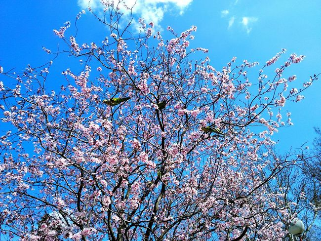 Tree Bird Birds Spring Spring2016 Almond Tree Flowers Almond Blossom Tropical Birds Mediterranean  Madrid Madrid Spain Blooming Blossom Pet Birds Green Pink Pink Flower Pink Flowers Almond Tree In Blossom Saturation Saturated Contrast Beautiful Brunches