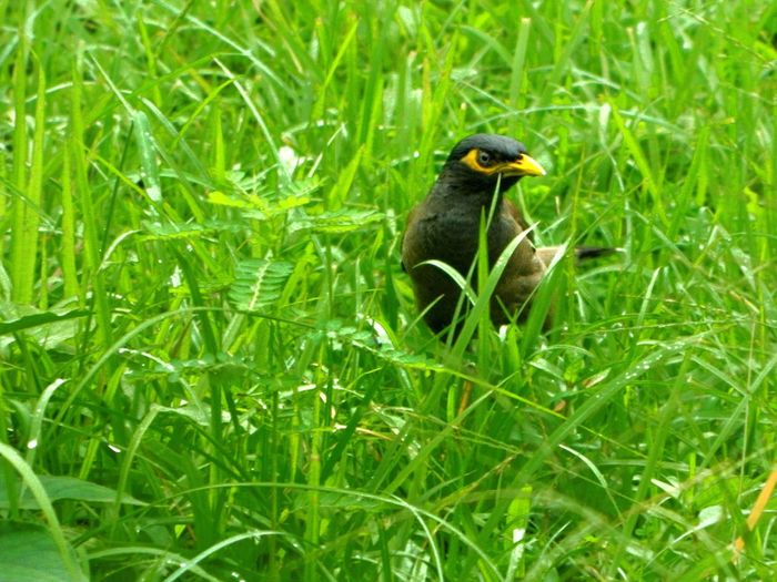 Common Mayn (Acridotheres tristis). IUCN declared this Myna as one of the only three birds among the world's 100 worst invasive species. They are considered as pest in several countries especially in Australia. The Birds Series Starlings Shooting In The Rain Greenery Focal Length 94.5mm