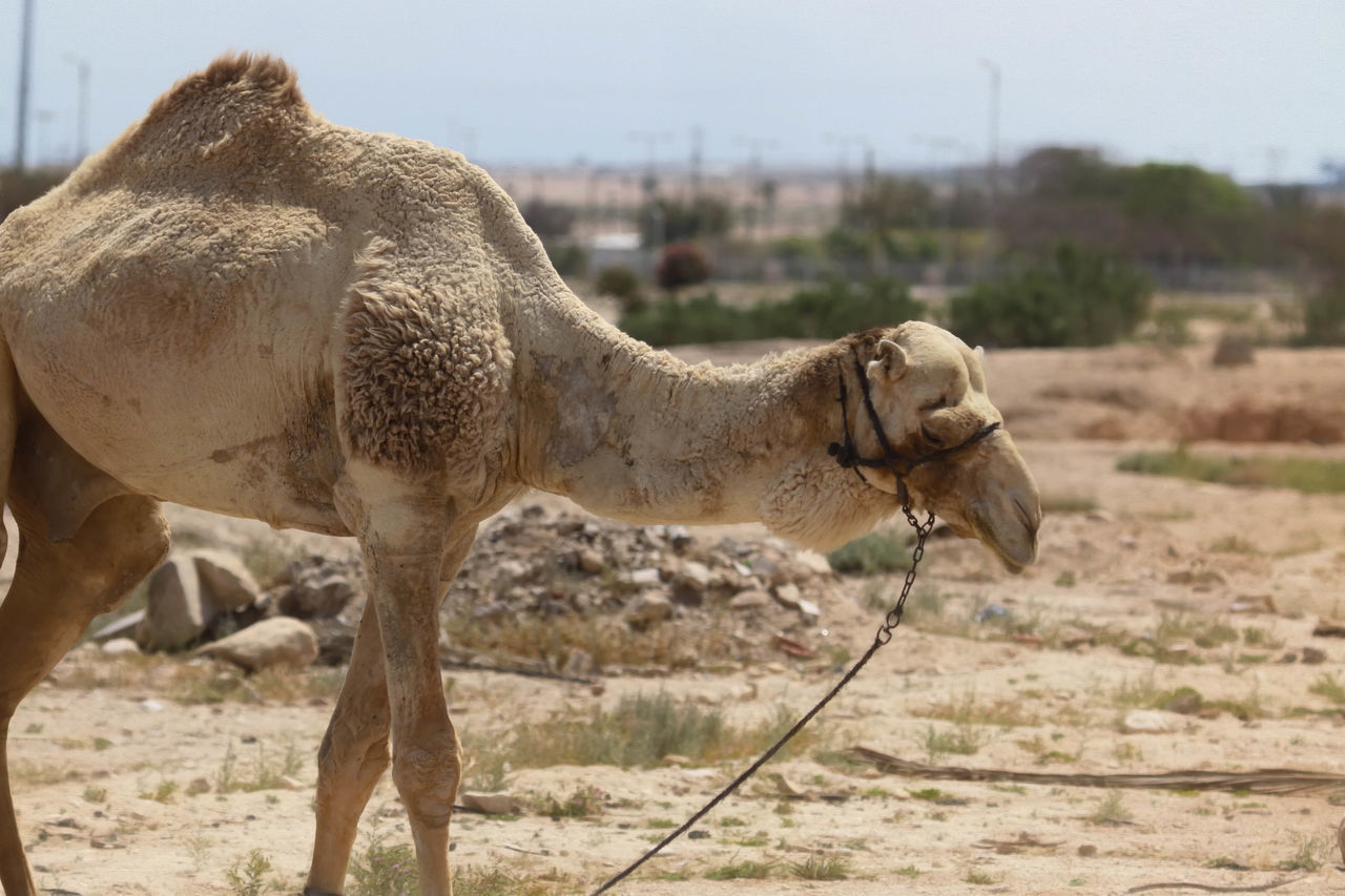 Camel Animal Animal Themes Brown Camels Day Field Focus On Foreground Grass Grazing Grazing Camel Harness Herbivorous Horned Hump Landscape Livestock Mammal Nature No People Outdoors Ride Transportation Transportation Vehicle Young Animal Zoology