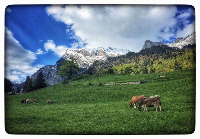 Cow Cows Switzerland Heidi Heidiland EyeEm Nature Lover EyeEm April Showcase Nature's Diversities Hello World