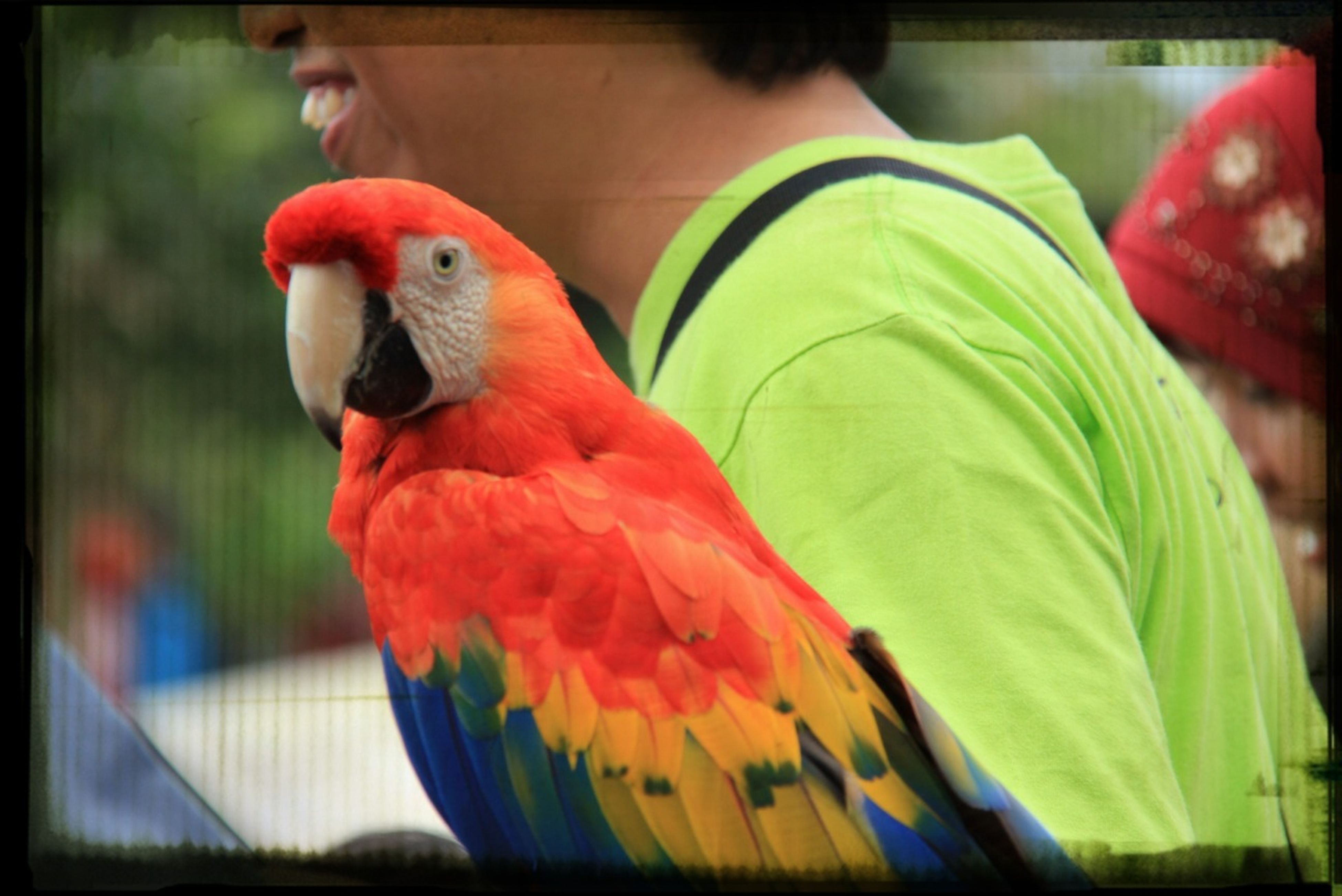 bird, animal themes, parrot, one animal, beak, animals in the wild, close-up, wildlife, focus on foreground, indoors, red, cage, multi colored, animal head, birdcage, perching, transfer print, auto post production filter, animals in captivity, chicken - bird