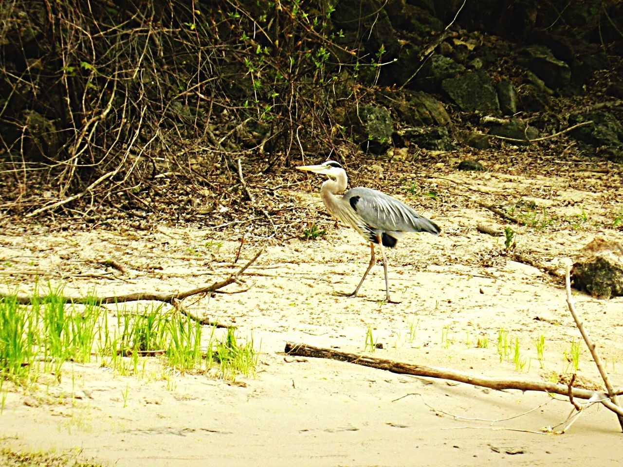 Blue Heron Great Blue Heron Grass Green Sand Trees Bird Bird Photography Birdwatching Birds EyeEm Birds Birds_collection Birds🐦⛅ Birds Of EyeEm  Bird Watching Birding Birdporn Nature_collection EyeEm Nature Lover Nature Photography Beautiful Nature Lynxville Dam Lynxville, Wisconsin Wisconsin Birdfreaks