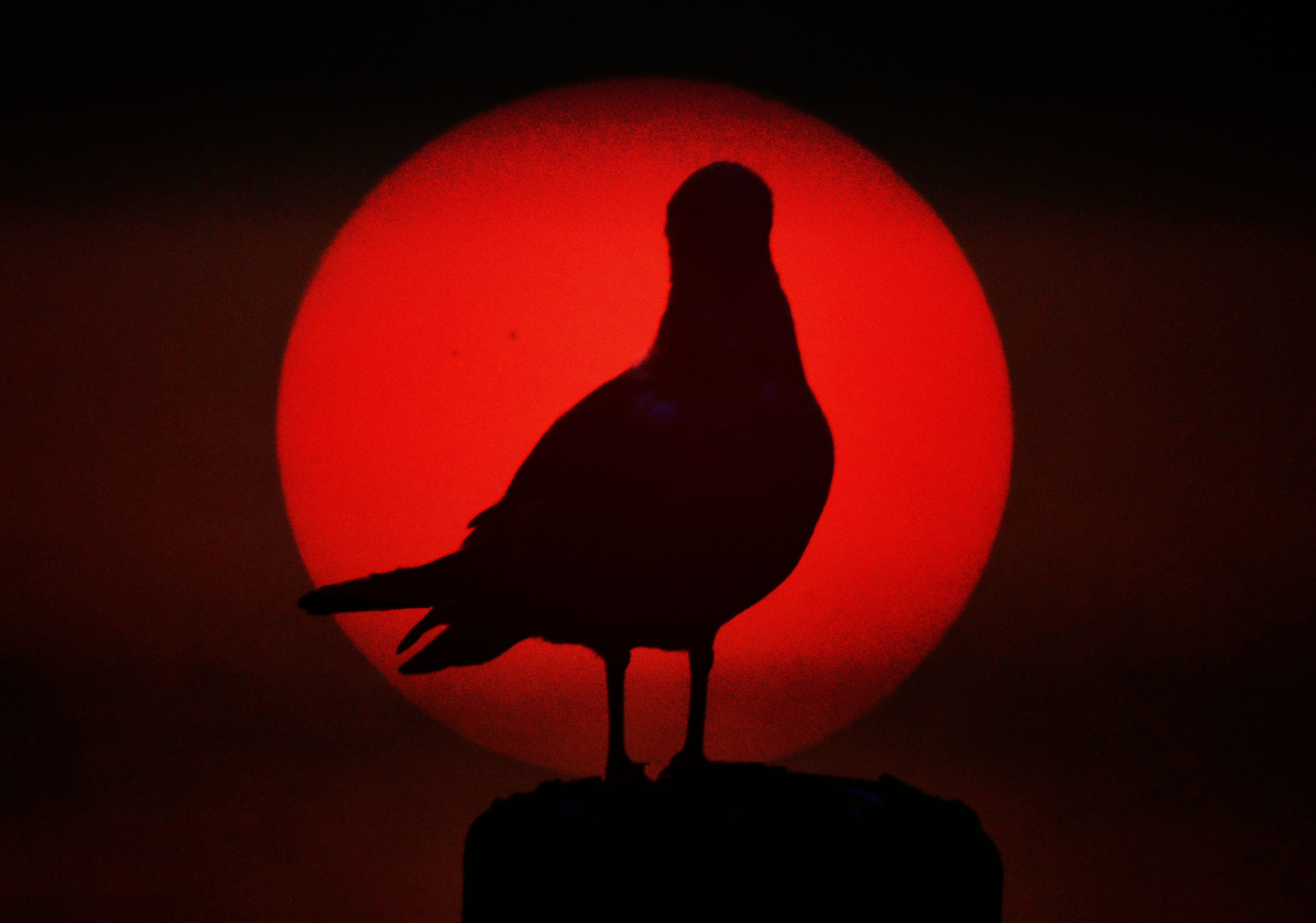 silhouette, bird, red, animal themes, one animal, sunset, no people, animals in the wild, close-up, perching, indoors, illuminated, night, black background, nature, sky