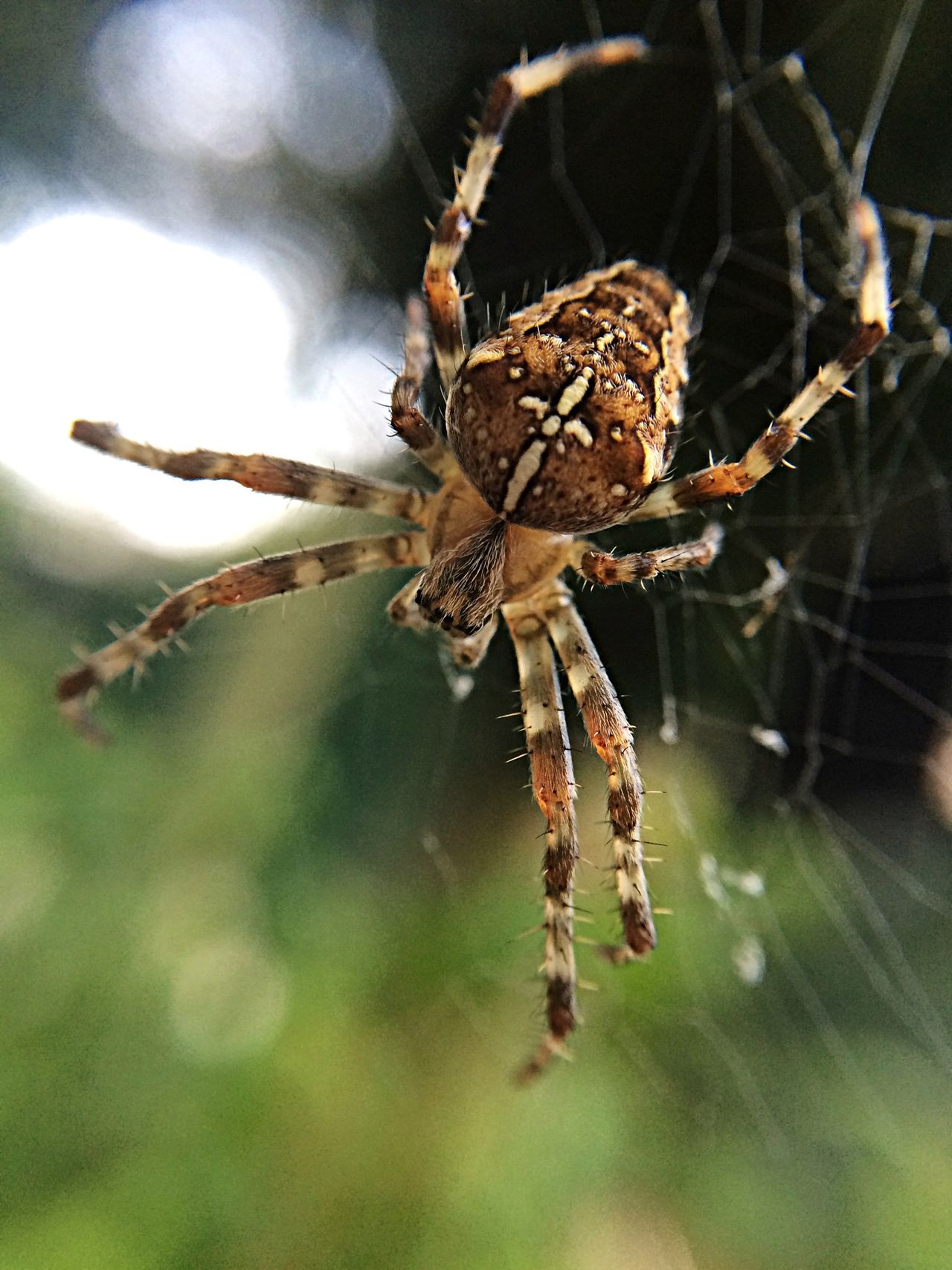 Beautiful stock photos of spider's, Animal Pattern, Close-Up, Day, Focus On Foreground