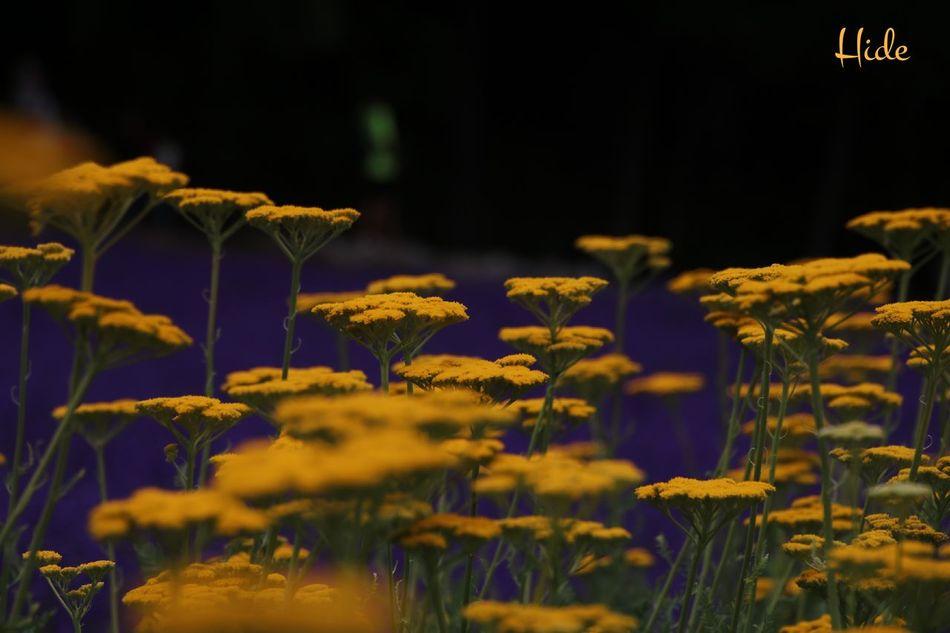 花 富良野 ファーム冨田 Flowers Furano ラベンダー Lavender