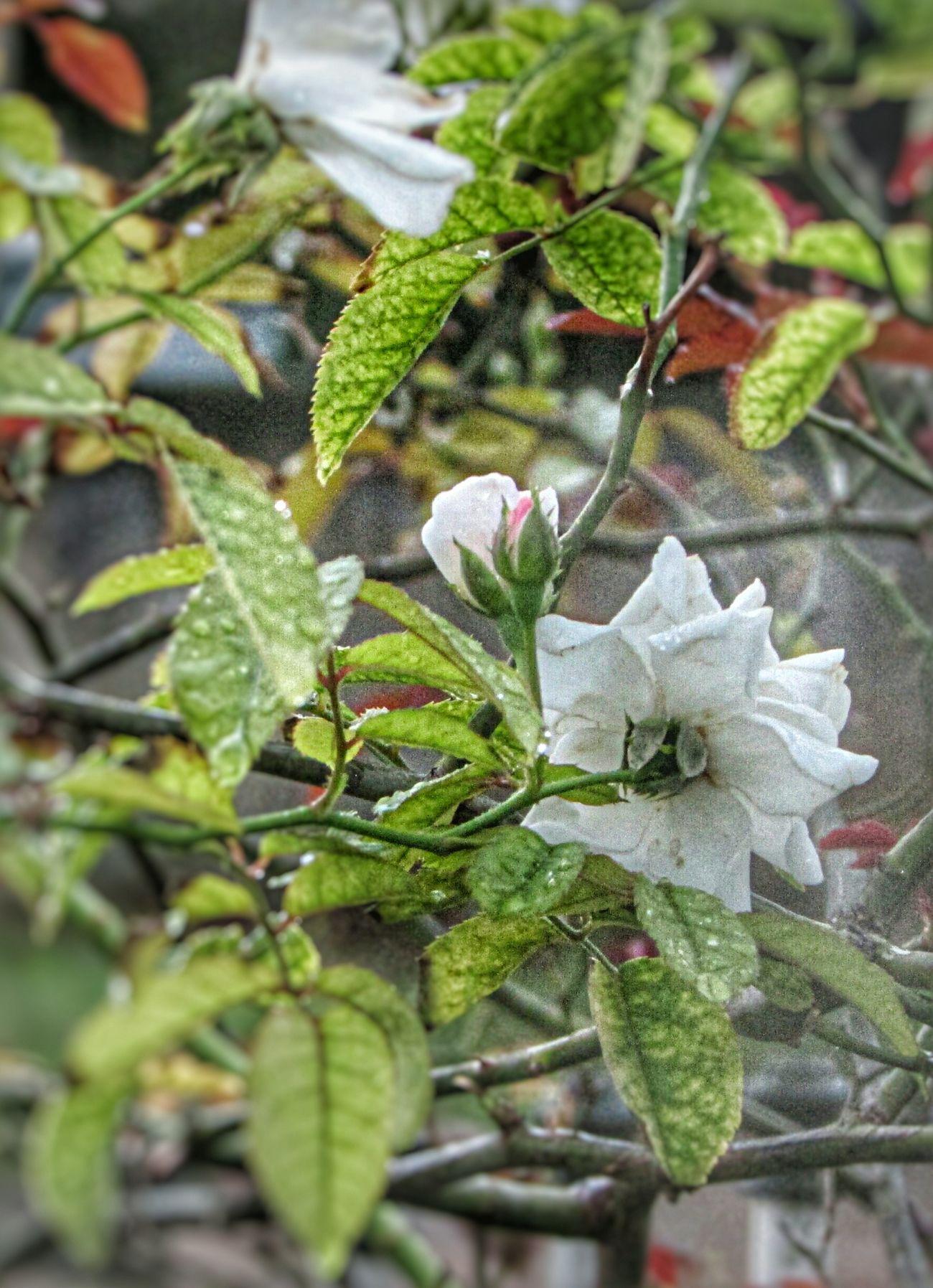 Nature Flower Flores Chuva Chuva⛈🌦🌧🌩 Joinville Brasil ♥ Flores Brazil Flowers Flores Brancas 🌼💐 EyeEmNewHere