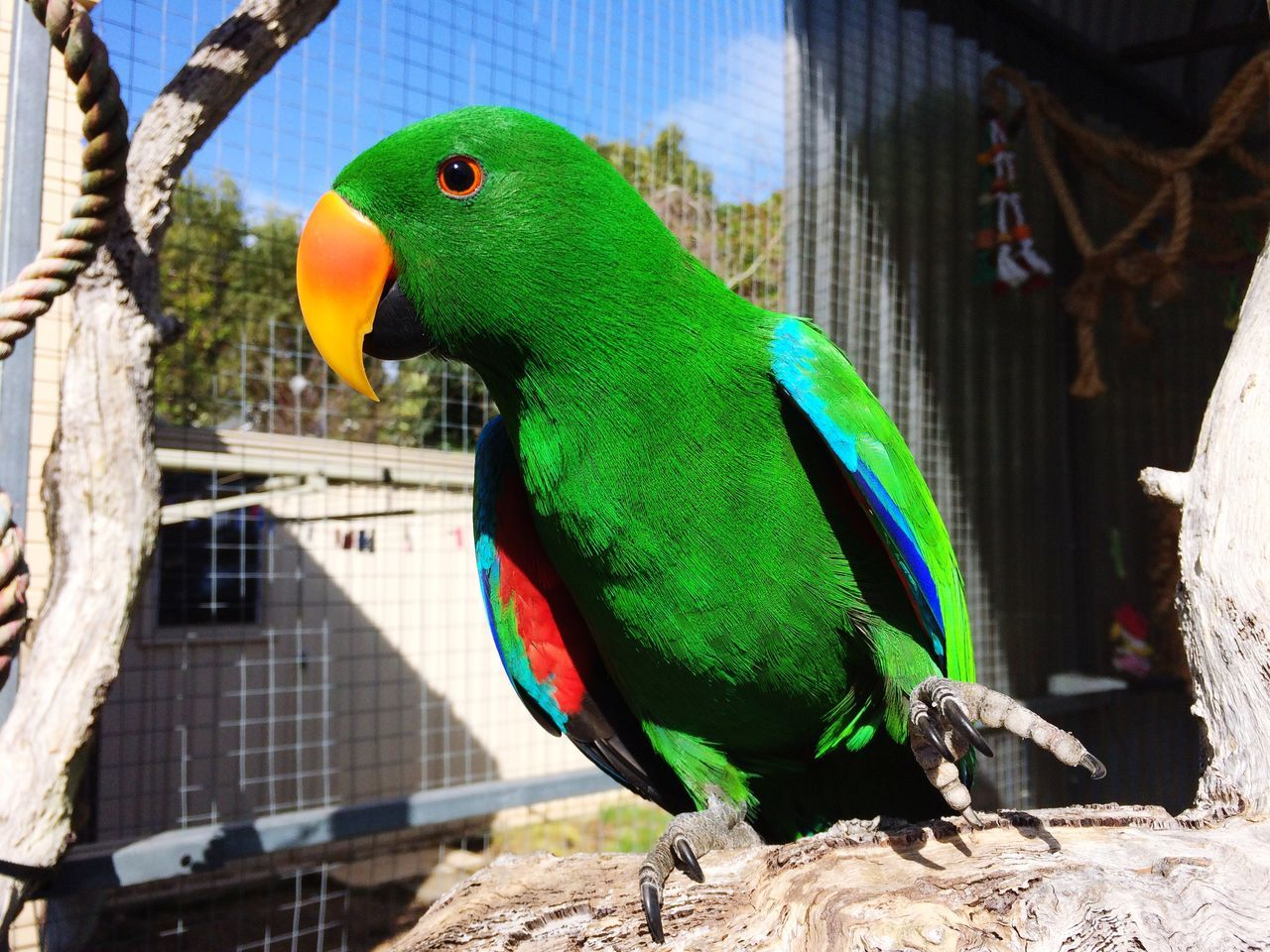 Jellybean_the_Eclectus Male Eclectus Eclectus Bright_and_bold Green Green Green!  Male Eclectus