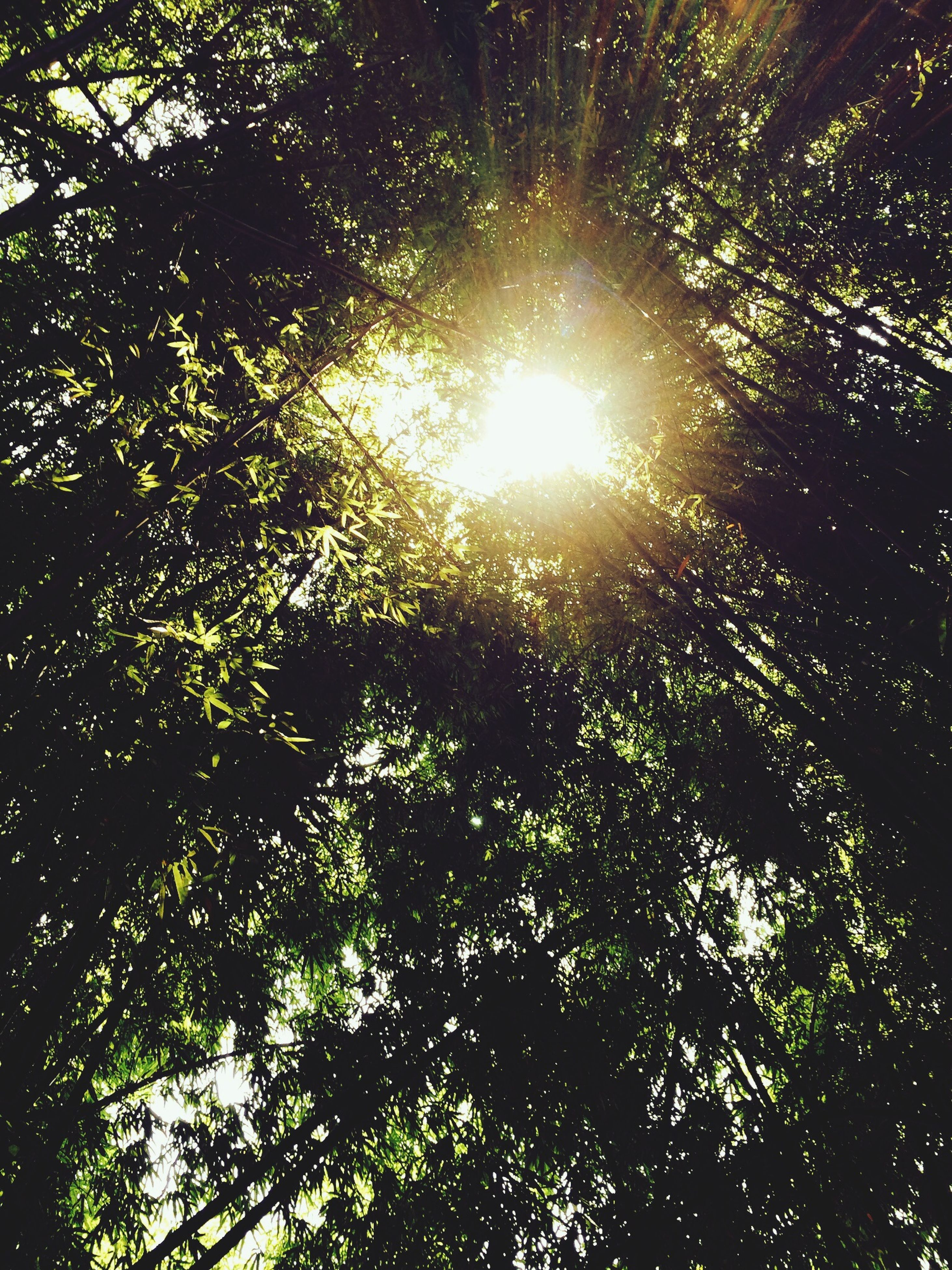 tree, low angle view, sun, growth, sunbeam, sunlight, branch, lens flare, nature, tranquility, beauty in nature, green color, sunny, bright, sky, day, back lit, forest, leaf, scenics