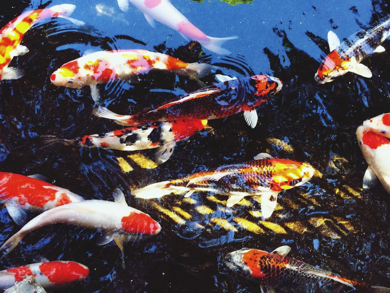 Koi Carp Carp Fish Koi Koi Fish Water Animal Common Common Carp Nishikigoi Pond Red White Yellow Swimming Large Group Of Animals Animal Themes Nature No People Outdoors