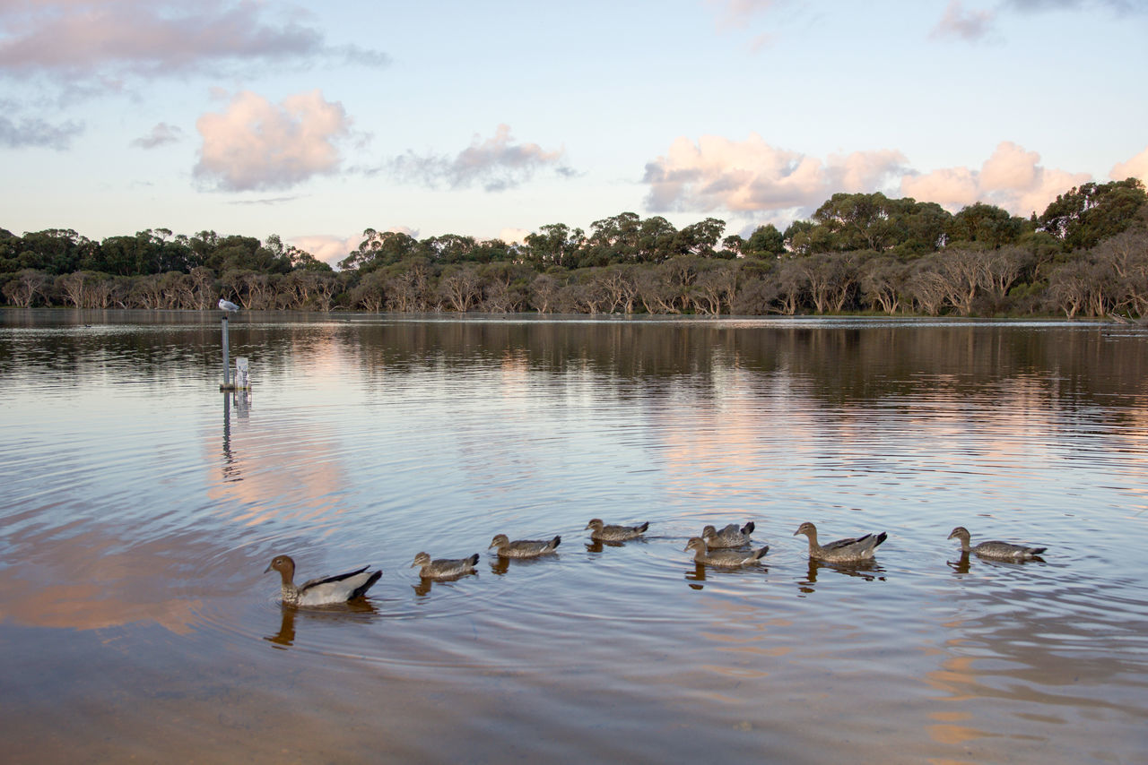 animals in the wild, lake, animal themes, bird, large group of animals, water, animal wildlife, nature, reflection, no people, tree, sky, swimming, beauty in nature, outdoors, waterfront, young bird, day, water bird, swan