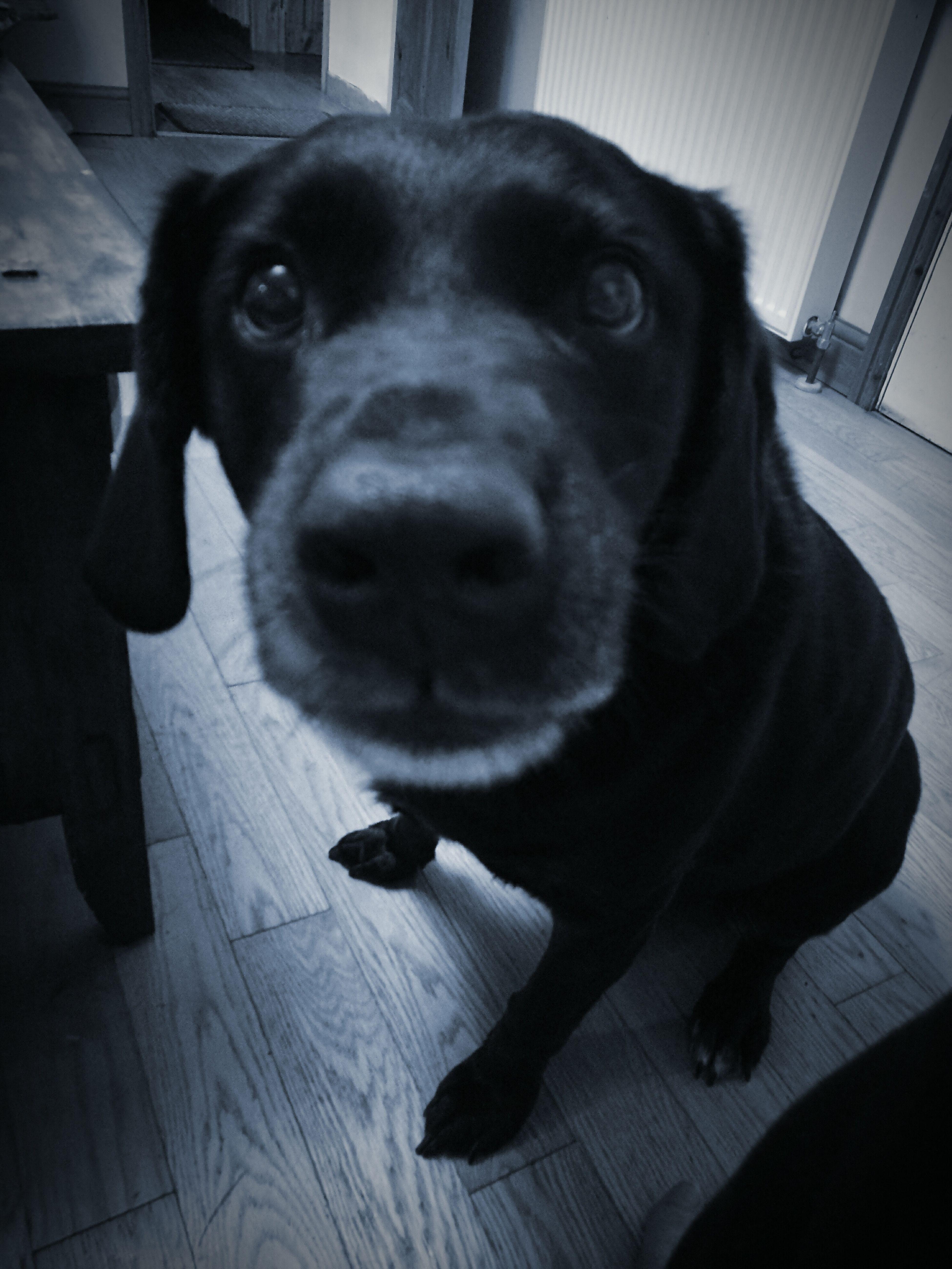 Grumpy.. (イライラする) Pets Domestic Animals Dog イライラするLooking At Camera Indoors  No People Grumpy Annoyed Close-up