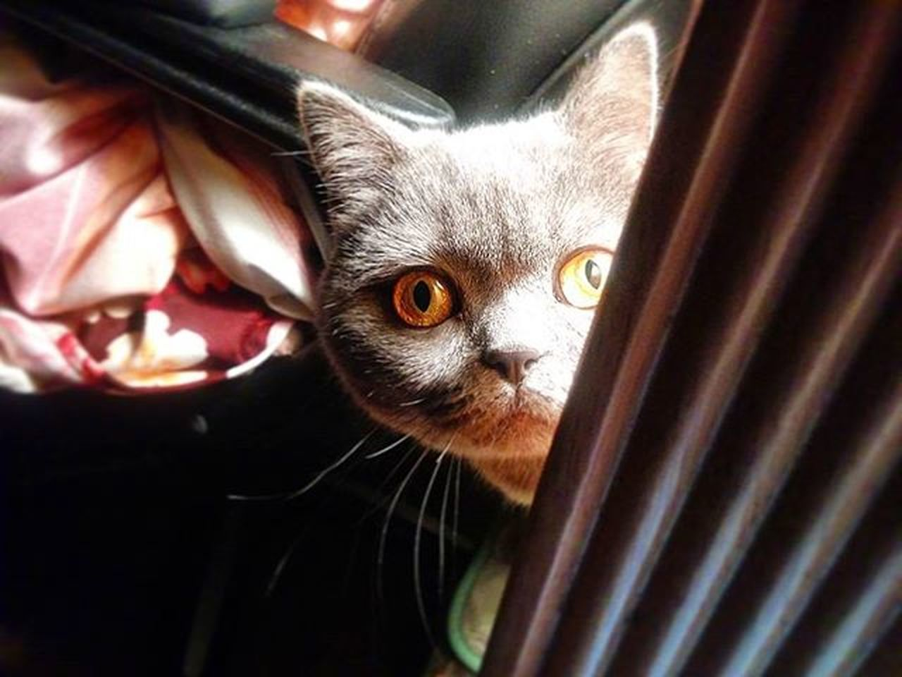 What are you looking? Cat Morning Britishgreycat Britishshorthair Britishgreycats Picoftheday Ghost Memories Color Palette Color Of Life