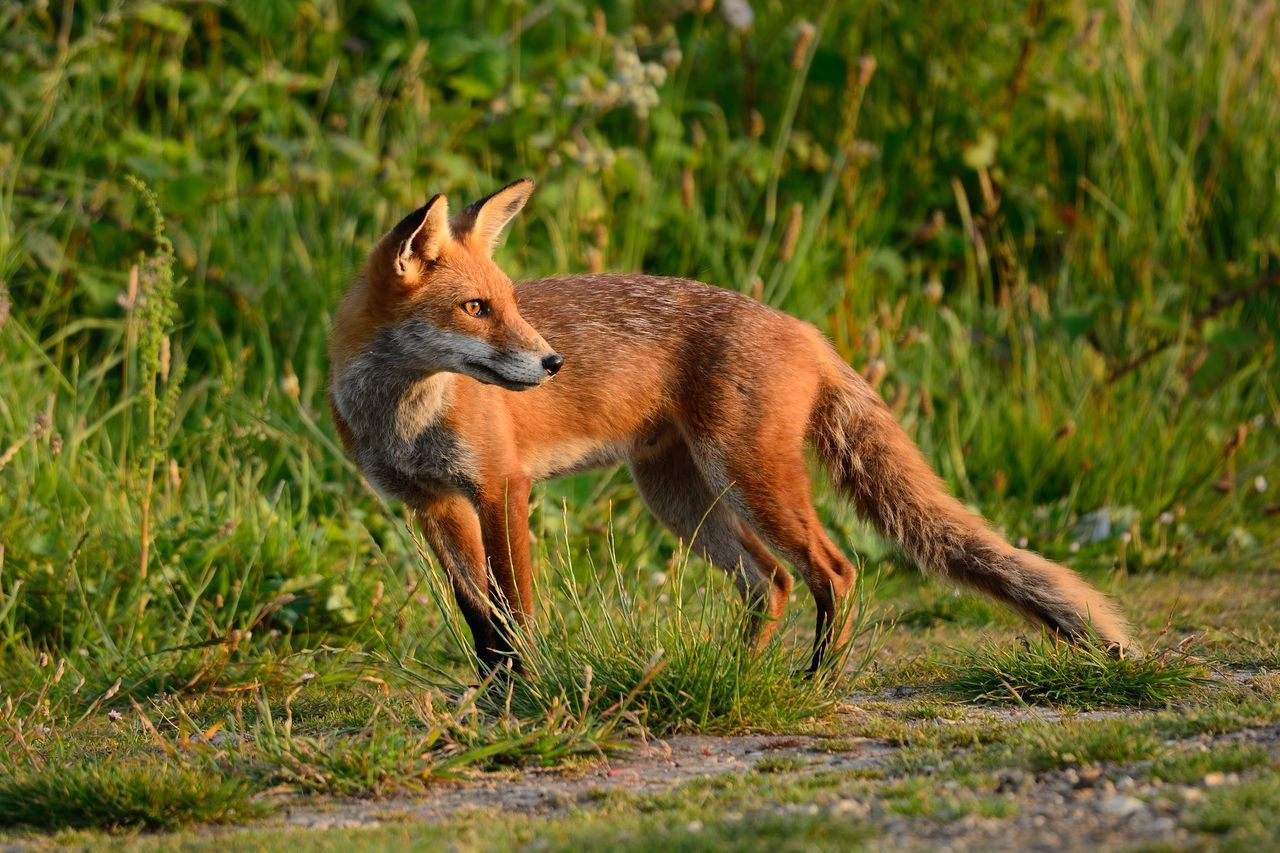 animal wildlife, fox, animals in the wild, one animal, outdoors, no people, mammal, animal themes, day, stealth, nature, grass, full length, close-up