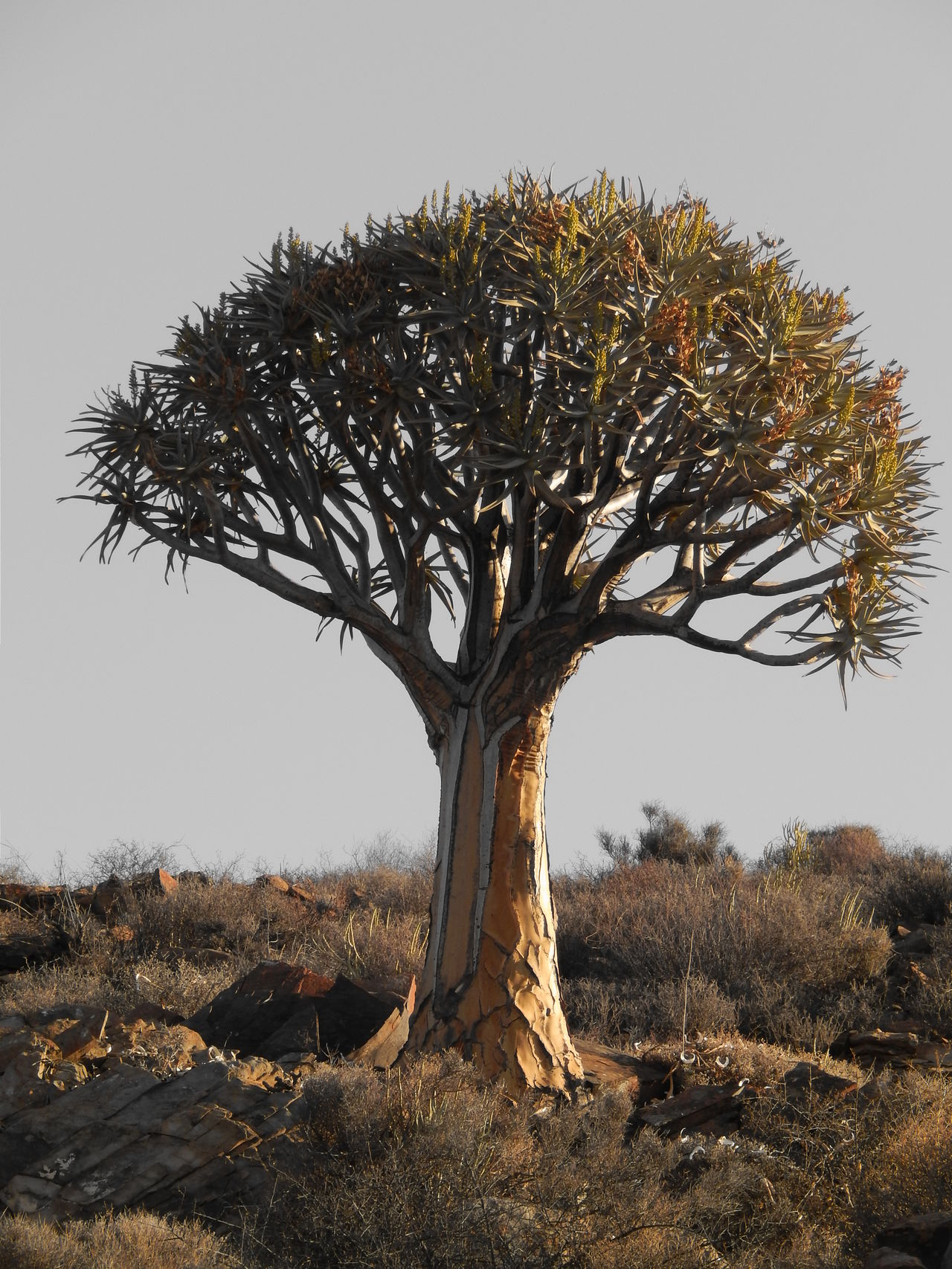 Aloe Dichotoma Botany Branch Clear Sky Field Kokerboom Landscape Loeriesfontein  Nature Northern Cape Outdoors South Africa Tranquil Scene Tranquility Tree Tree Trunk Fine Art Photography Still Life
