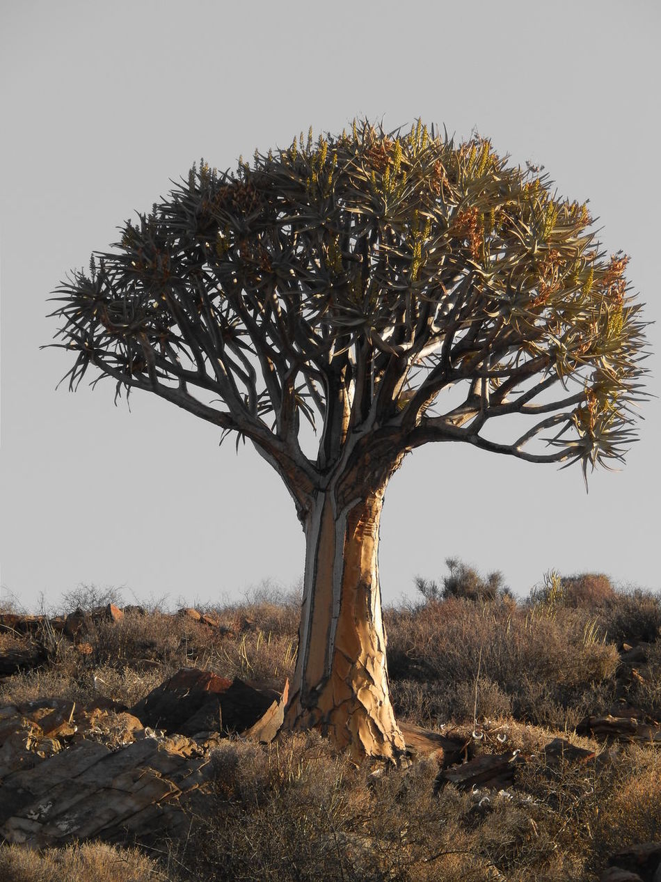 Aloe Dichotoma Botany Branch Clear Sky Field Kokerboom Landscape Loeriesfontein  Nature Northern Cape Outdoors South Africa Tranquil Scene Tranquility Tree Tree Trunk Fine Art Photography Still Life Finding New Frontiers