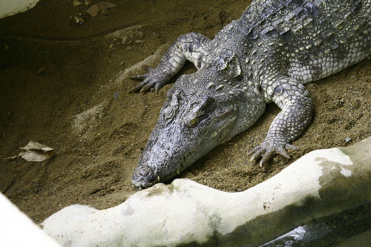 reptile, animals in the wild, animal themes, animal wildlife, one animal, no people, outdoors, day, crocodile, nature, close-up