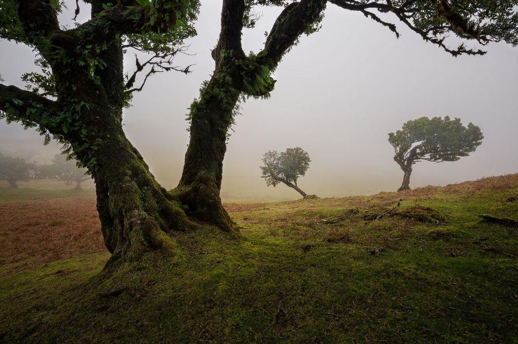 Twisted Sisters Fanal Fog Fogy Fragility Frame Madeira Tree Trees