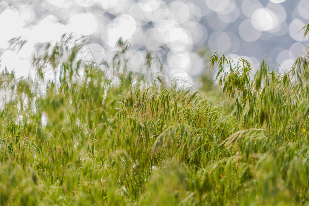 growth, grass, nature, field, green color, selective focus, no people, plant, day, outdoors, tranquility, beauty in nature, close-up, freshness