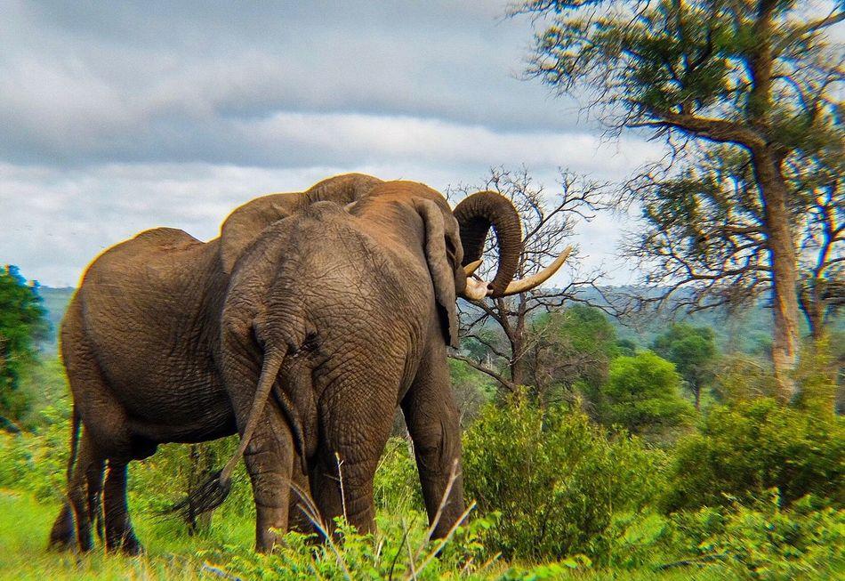 Elephant love Elephant Animals In The Wild Nature Animal Wildlife African Elephant Mammal Tree Sky Outdoors Tusk Safari Animals Animal Themes Landscape Day Beauty In Nature Animal Trunk Grass