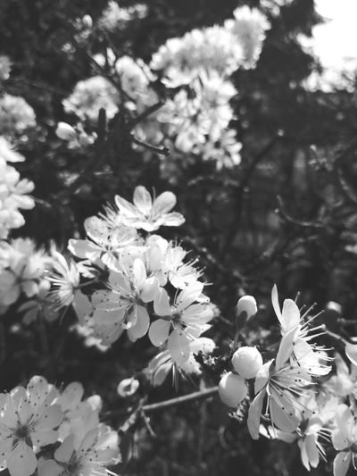 White Color Nature Flower Growth Freshness Beauty In Nature Fragility Springtime Blossom Focus On Foreground Close-up Outdoors Flower Head Day Branch No People Tree Blackandwhite Blackandwhite Photography Black&white From Where I Stand Spring Is Coming  Beauty In Nature 2017 April Welcome To Black EyeEmNewHere