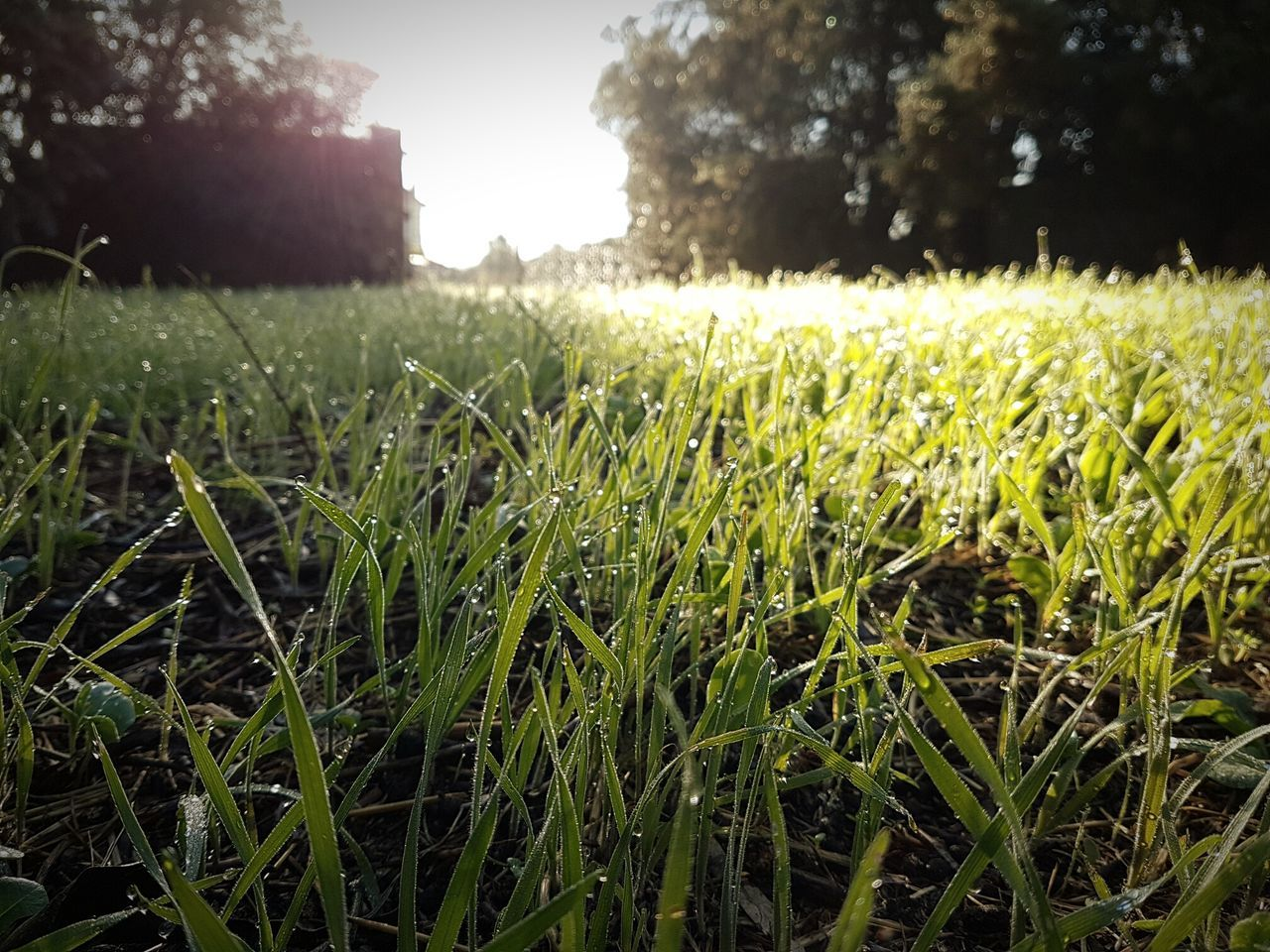grass, field, growth, nature, outdoors, day, no people, tranquility, green color, focus on foreground, agriculture, beauty in nature, plant, sunlight, close-up, landscape, freshness, sky