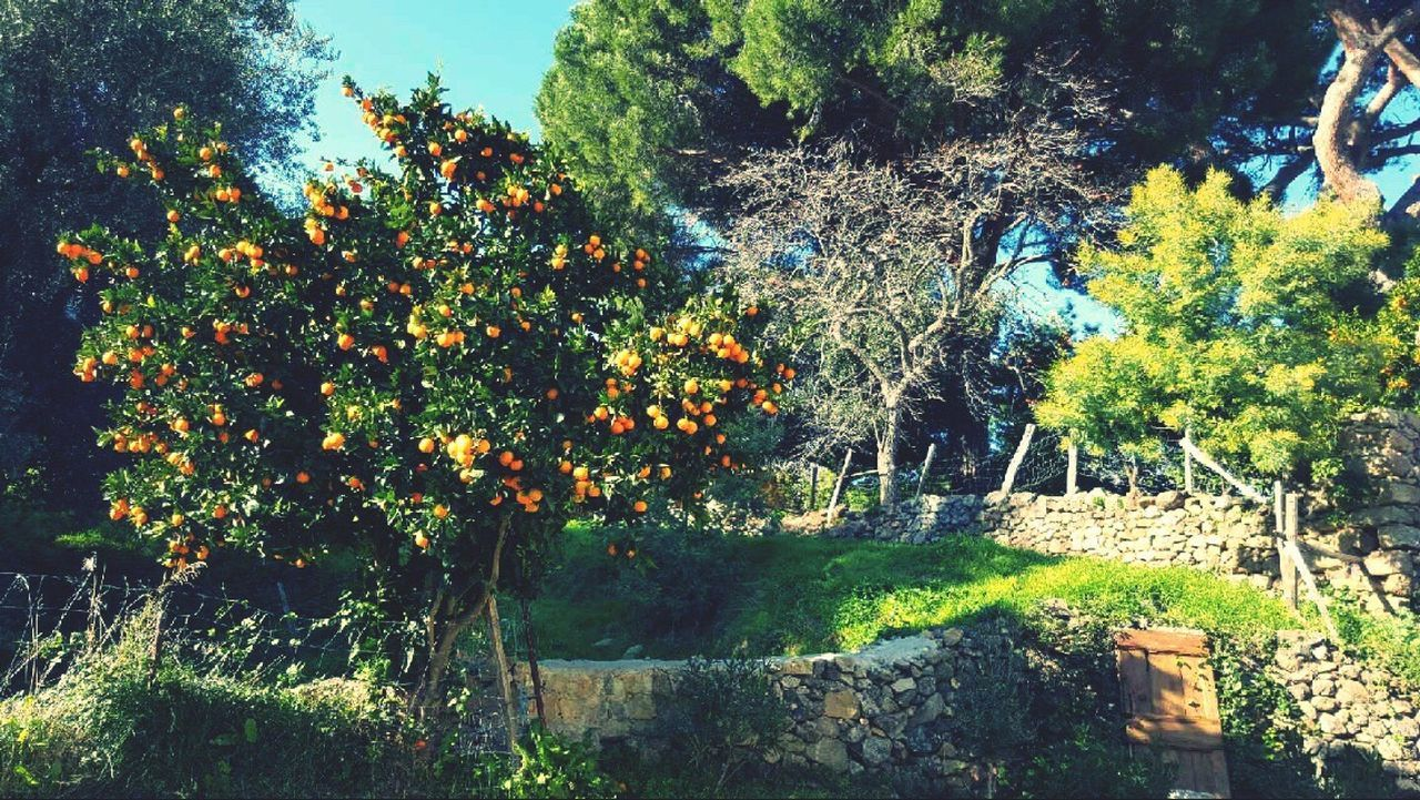 Beautifful place In Corsica Corse Nature Tree Beauty In Nature Growth Orange Tree Freshness Sunlight 📍muro