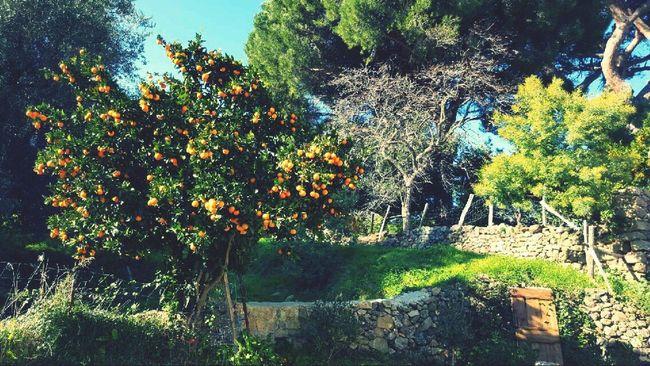 Beautifful place In Corsica Corse Nature Tree Beauty In Nature Growth Orange Tree Freshness Sunlight 📍muro