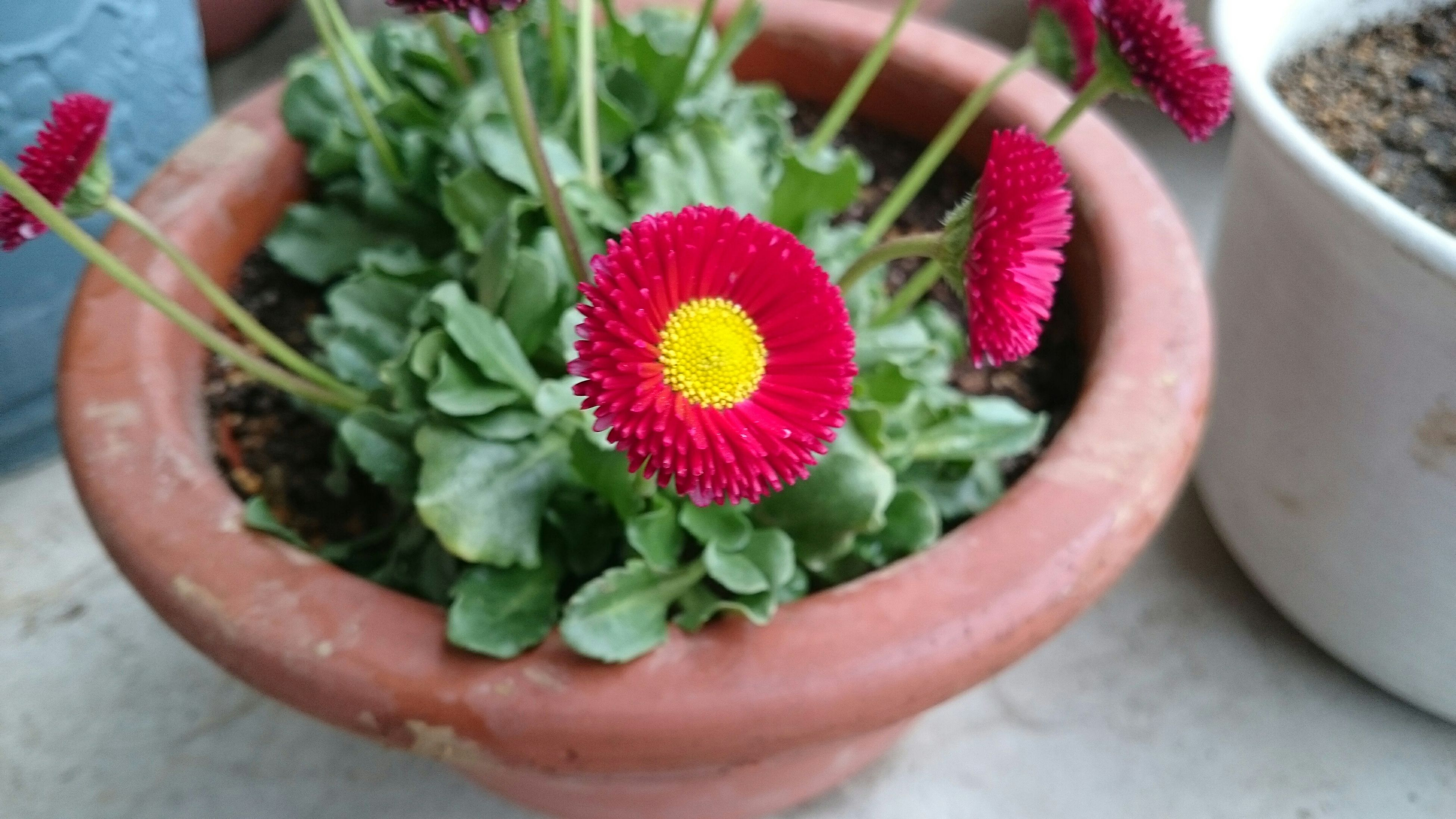 freshness, flower, petal, close-up, fragility, high angle view, flower head, growth, leaf, plant, beauty in nature, focus on foreground, cropped, part of, nature, indoors, pink color, single flower, potted plant, red