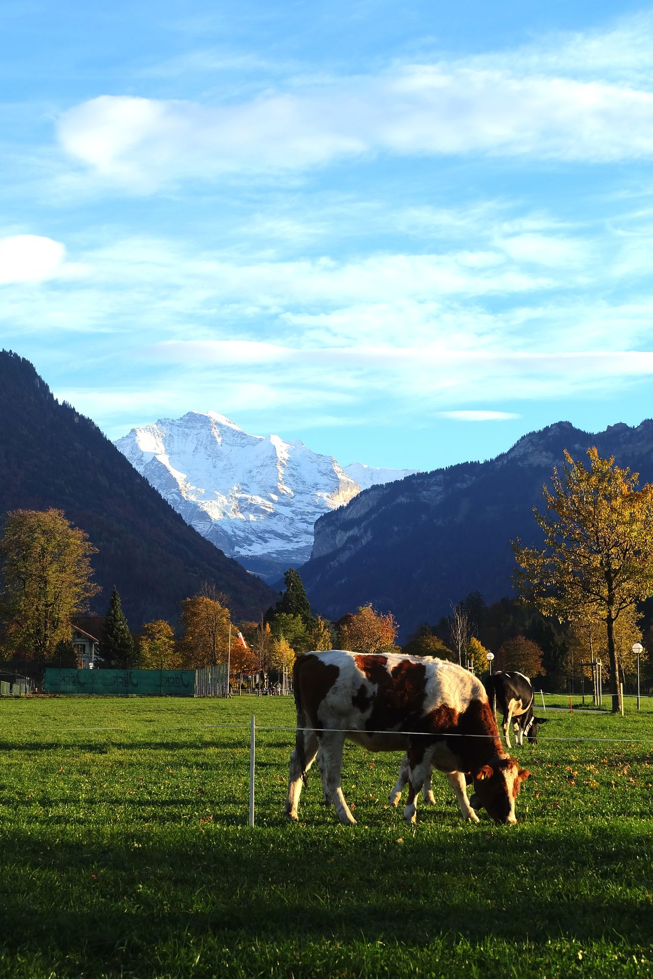 Blue Sky Cow Cows Interlaken Jungfrau Landscape Mountain Range Sky Switzerland