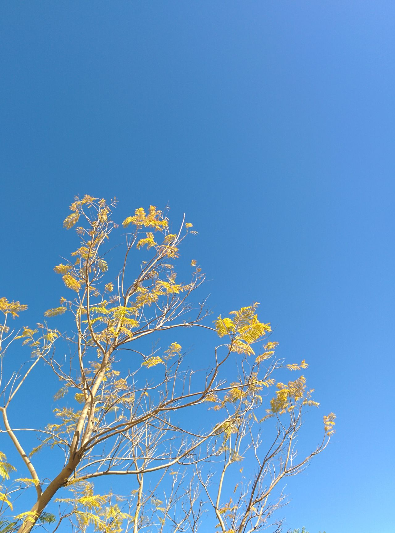 Blue and Yellow Nature Blue Sky Low Angle View Nature Clear Sky Tree Flower Beauty In Nature Branch Outdoors Close-up Day No People Bratini Leonidas Downtown City Orlando Clear Sky Beauty In Nature