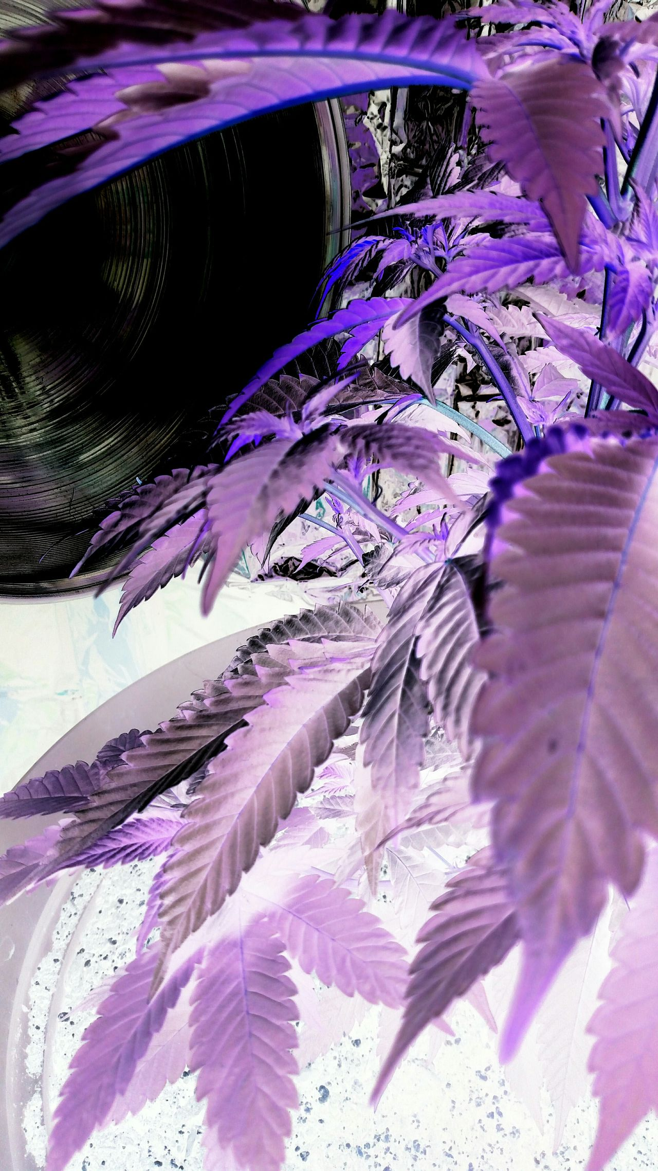 Negative Effect Marijuana Indoor Gardening Purple Flowers Feminine