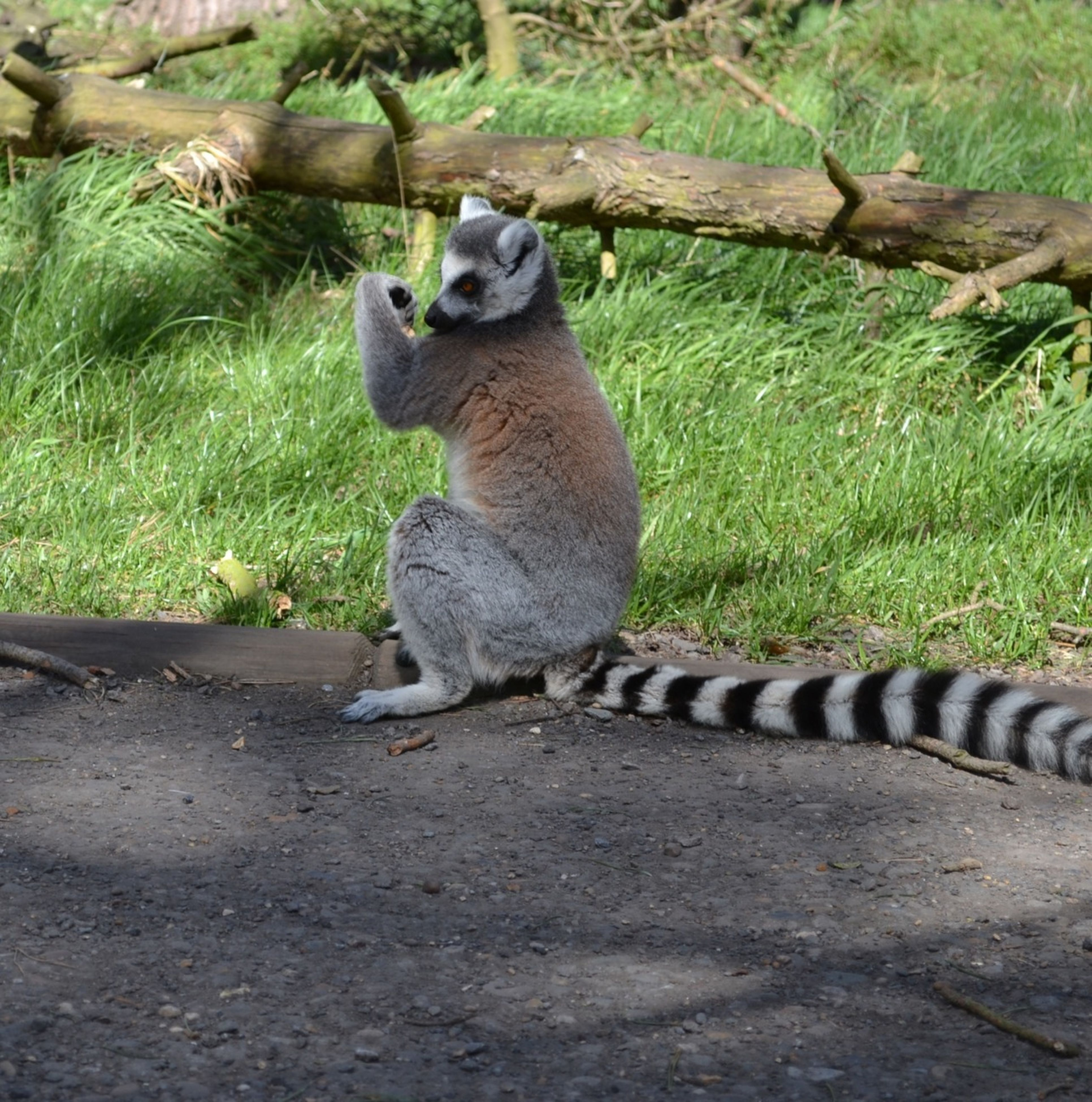animal themes, animals in the wild, one animal, wildlife, grass, full length, mammal, plant, zoo, nature, outdoors, field, sitting, day, no people, animals in captivity, green color, relaxation, looking away, side view