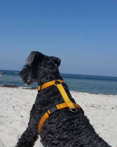 In loving memory. Darling ❤ 2007 - 2017 Kerry Blue Terrier dog portrait dogoftheday beach sea sand water day outdoors Baltic Sea Heidkate EyeEmNewHere beauty in Nature scenic view animal themes EyeEm Selects pets Kerry Blue Terrier Dog Portrait Dogoftheday Beach Sea Sand Water Day Outdoors Baltic Sea Heidkate EyeEmNewHere Beauty In Nature Scenic View Animal Themes EyeEm Selects Pets Hundestrand Hunde Liebe ♡ Dog Love The Week On EyeEm No Edit/no Filter Himmel Und Hund Dogs Of EyeEm Pet Portraits One Animal Close-up Sky Clear Sky Horizon Over Water