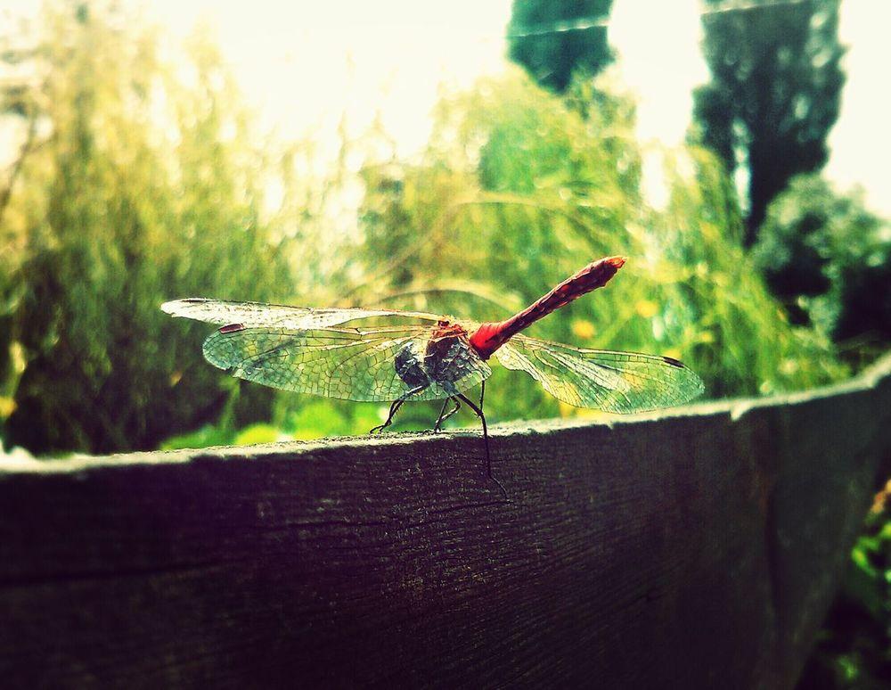 Dragonfly Closeup Nature