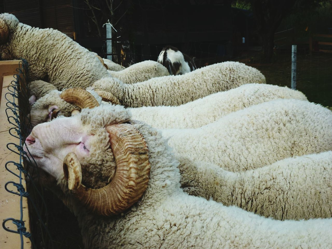 Sheep Farm Domestic Animals Animal Themes Nature Sheep Sheep Wool Woolen Yarn EyeEmNewHere