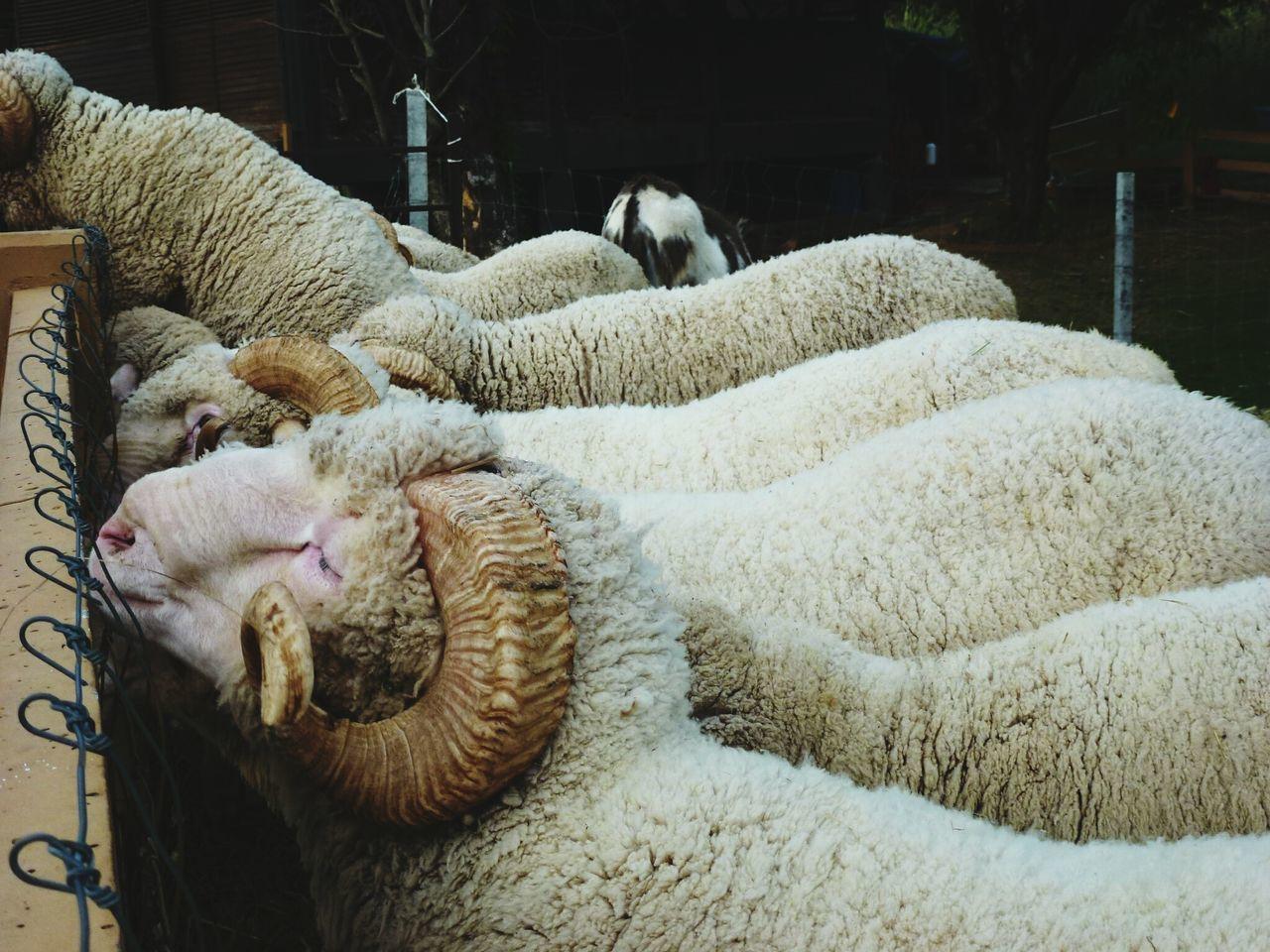 Sheep Farm Domestic Animals Animal Themes Nature Sheep Sheep Wool Woolen Yarn EyeEmNewHere Adapted To The City