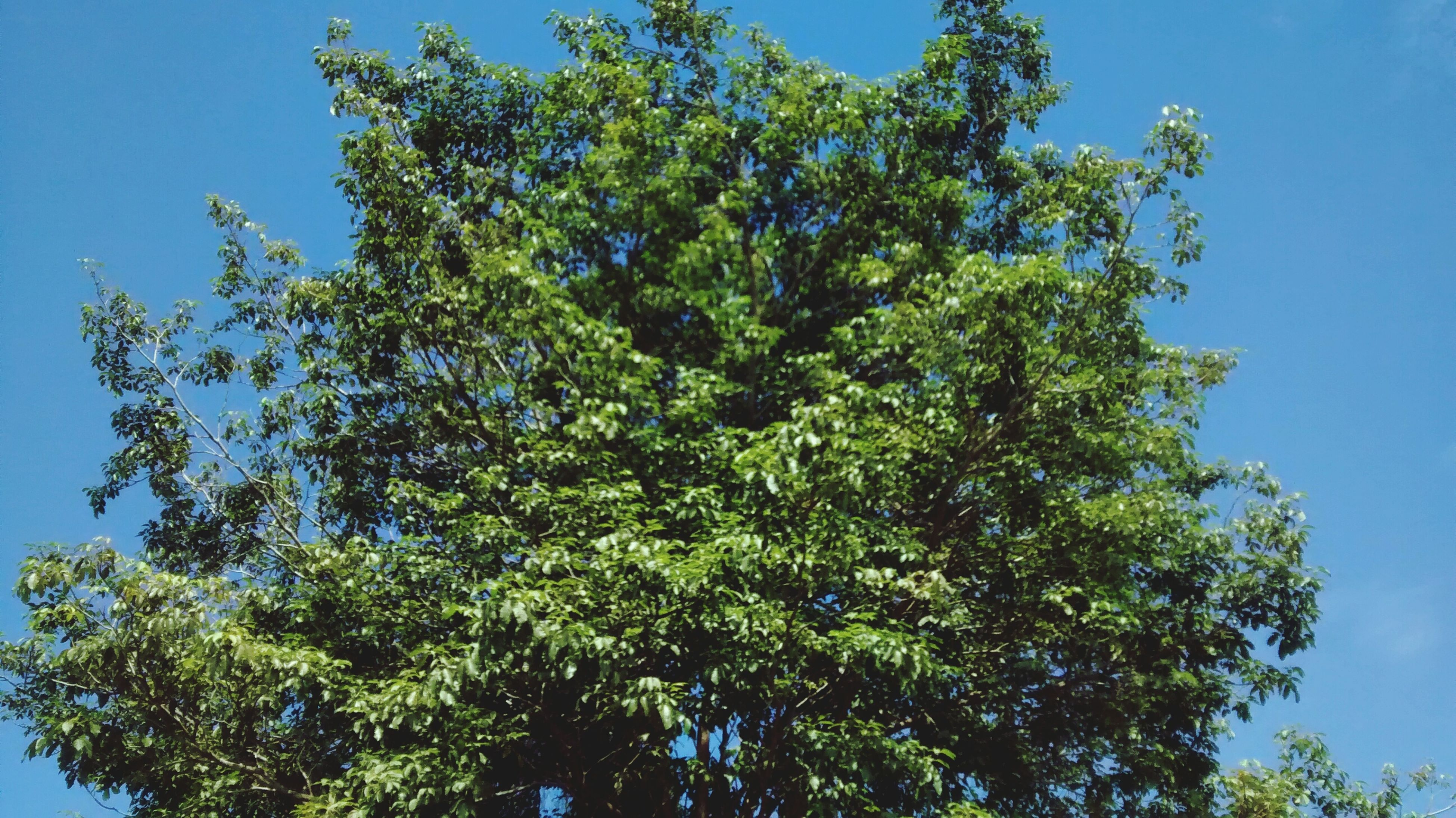 low angle view, tree, blue, growth, clear sky, branch, nature, beauty in nature, green color, tranquility, sunlight, sky, day, outdoors, no people, scenics, high section, green, copy space, tranquil scene