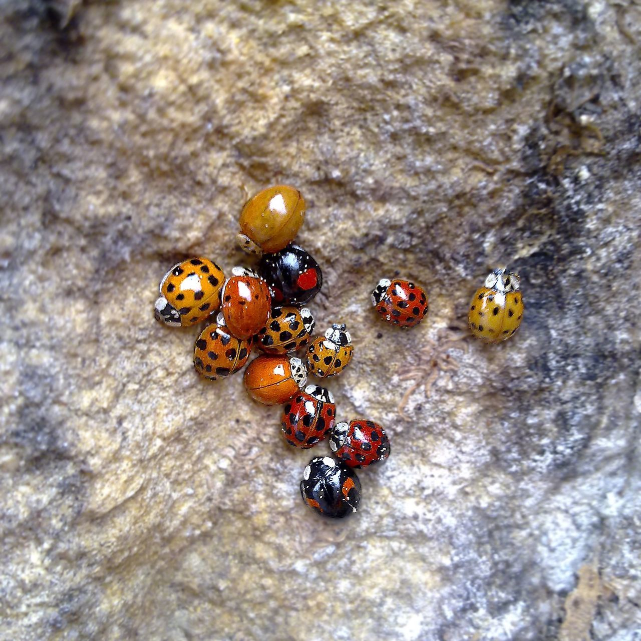 The gang Close-up Coccinella Coccinelle Insect Insect Photography Insects  Insects Collection Ladybug Ladybugs Nature Nature Nature_collection Redpoint Selective Focus Macro Macro_collection Macro Photography Macro Beauty Macro Nature