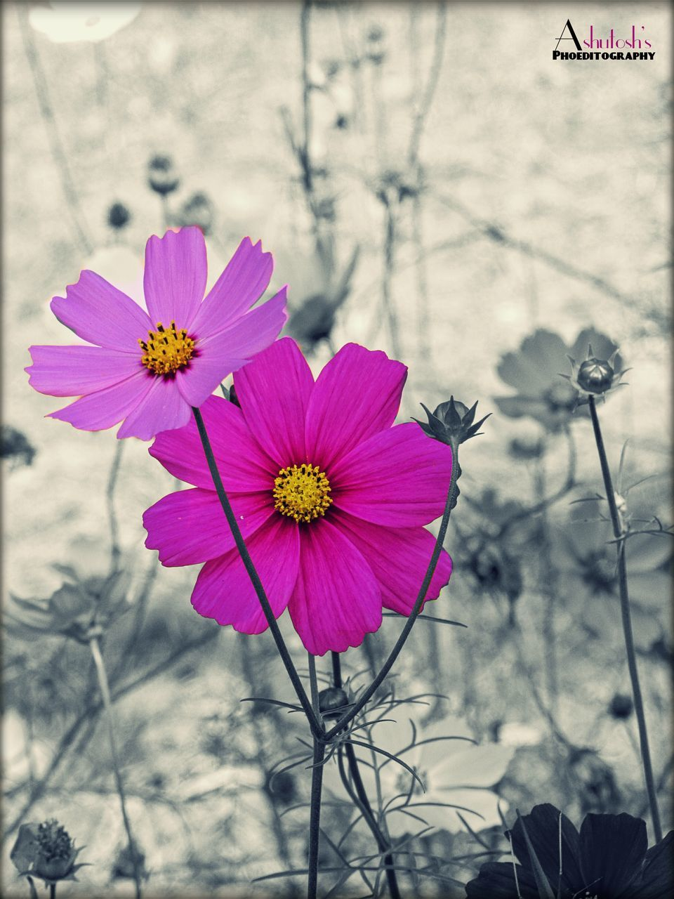 flower, petal, fragility, flower head, freshness, beauty in nature, pink color, plant, nature, growth, blooming, day, focus on foreground, no people, outdoors, cosmos flower, close-up, osteospermum, eastern purple coneflower