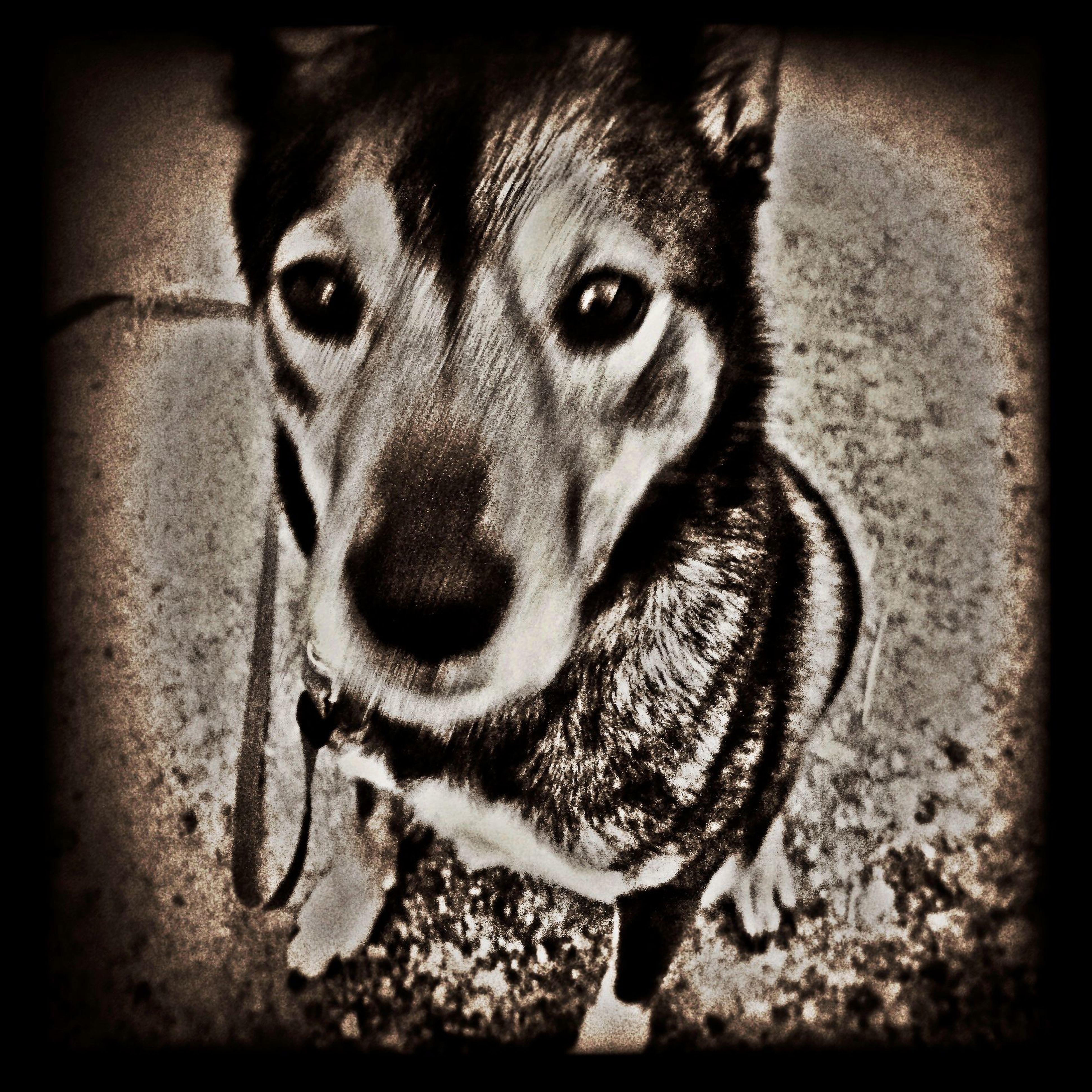one animal, animal themes, transfer print, pets, portrait, auto post production filter, domestic animals, dog, looking at camera, mammal, close-up, animal head, high angle view, no people, day, outdoors, animal body part, front view, focus on foreground, zoology
