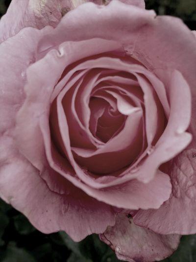 Flowers Macro Flower Pink Rose Eyem Nature Lovers