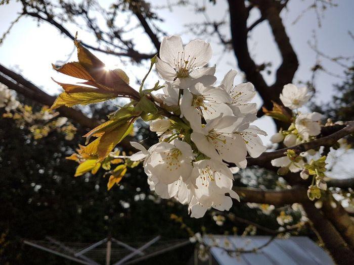 First Eyeem Photo Cherry Blossoms Flower Nature