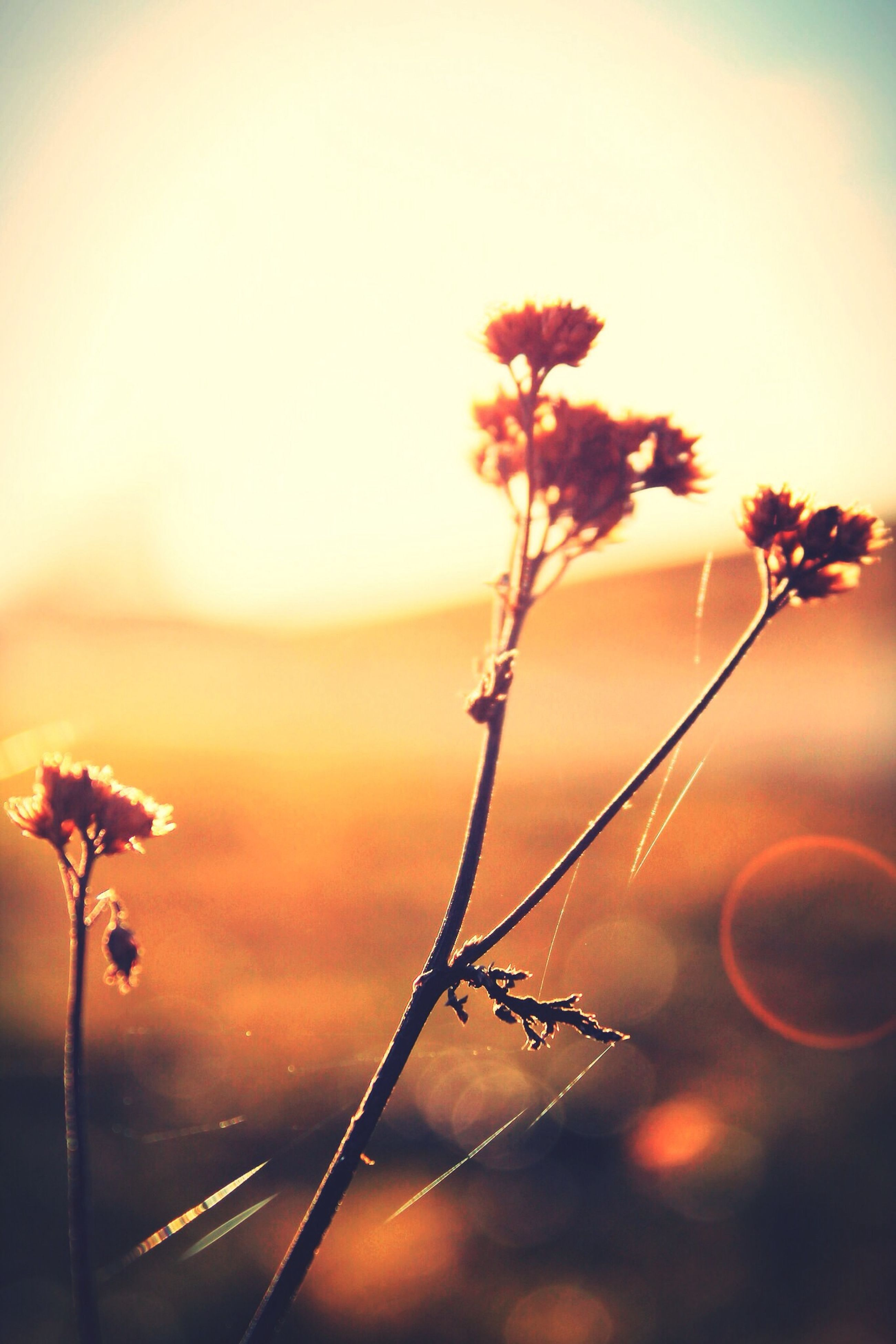 sunset, focus on foreground, beauty in nature, nature, growth, close-up, plant, fragility, orange color, stem, sun, tranquility, selective focus, sky, flower, freshness, silhouette, outdoors, twig, no people