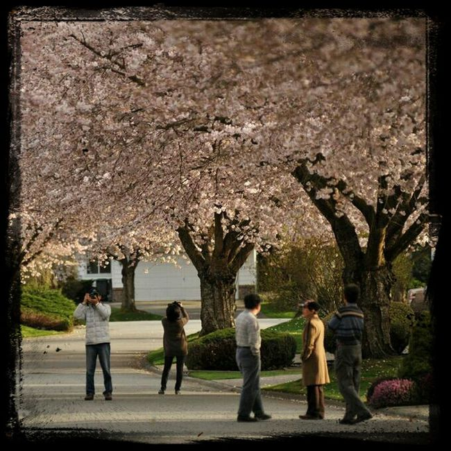 People admire and photograph ornamental cherry trees in blossom. Copyright Protected by Adrian Brown. Photo28.