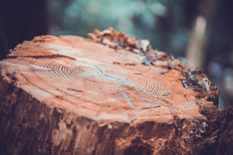 Nature Close-up Log Tree Wood - Material Tree Stump Tree Ring No People Timber Tree Trunk Textured  Cross Section Outdoors Day San Francisco Muir Forest Nature Tree Tree Trunk