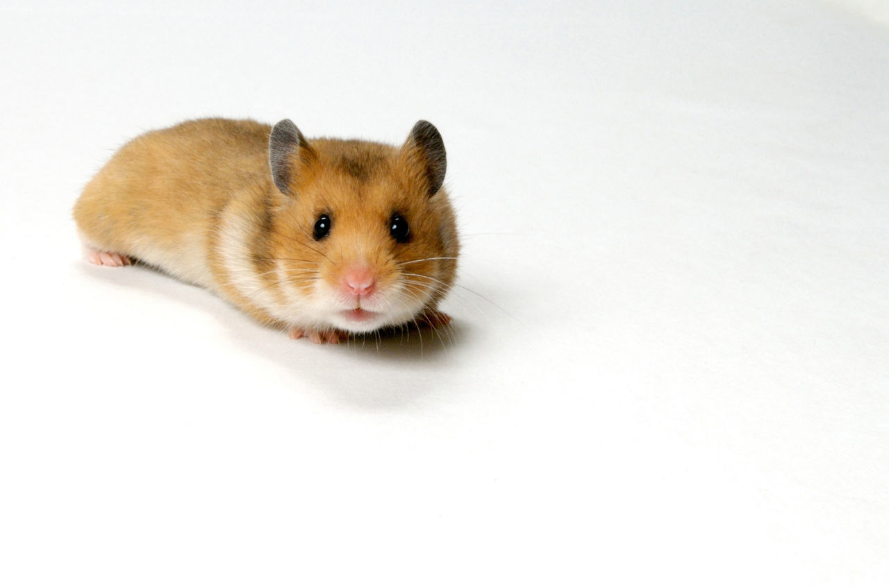 Beautiful stock photos of hamster, Animal Head, Animal Themes, Brown, Close-Up