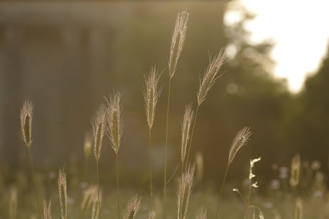 Sweet evening Summertime Rsa_nature Picoftheday Wheat Sunset Taking Photos Eye4photography  Photography Nature Gold