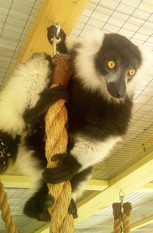 Animal Themes Close-up Day Domestic Animals Domestic Cat Feline Indoors  Lemur Mammal Monkey No People One Animal Pets