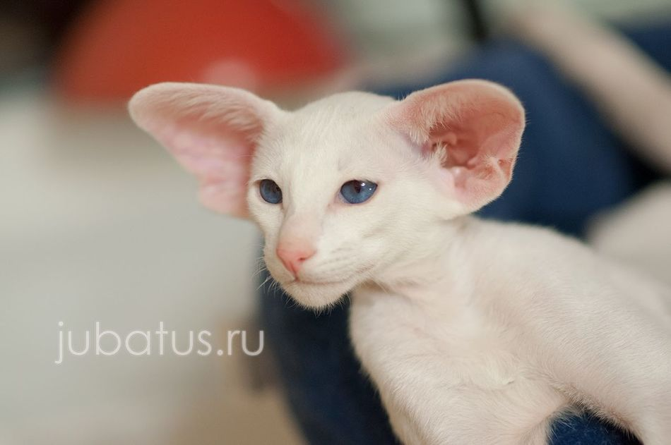 Portrait Looking At Camera Pets Animal Domestic Animals Animal Themes No People Siam Siamesecats Siamese Siamese Cat Blue Eyes BlueEyes Looking At Camera Animal Body Part Kitten Young Animal Jubatus Baby Whisker Indoors  One Animal Feline Domestic Cat