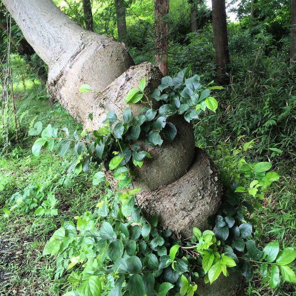 とぐろを巻いたヘビのような気になる木